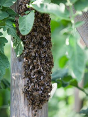 Bienen-Traube in den Tomaten