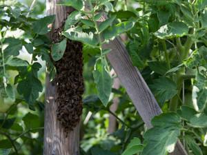 Bienen hängen wie Trauben in den Tomaten.