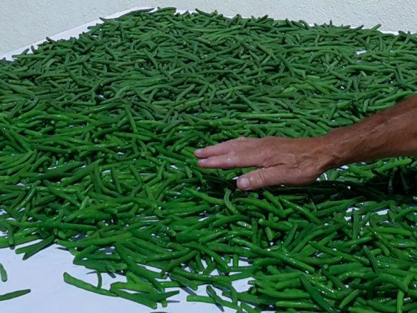 Die gekochten und gekühlten Bohnen können für den Winter eingefroren werden.