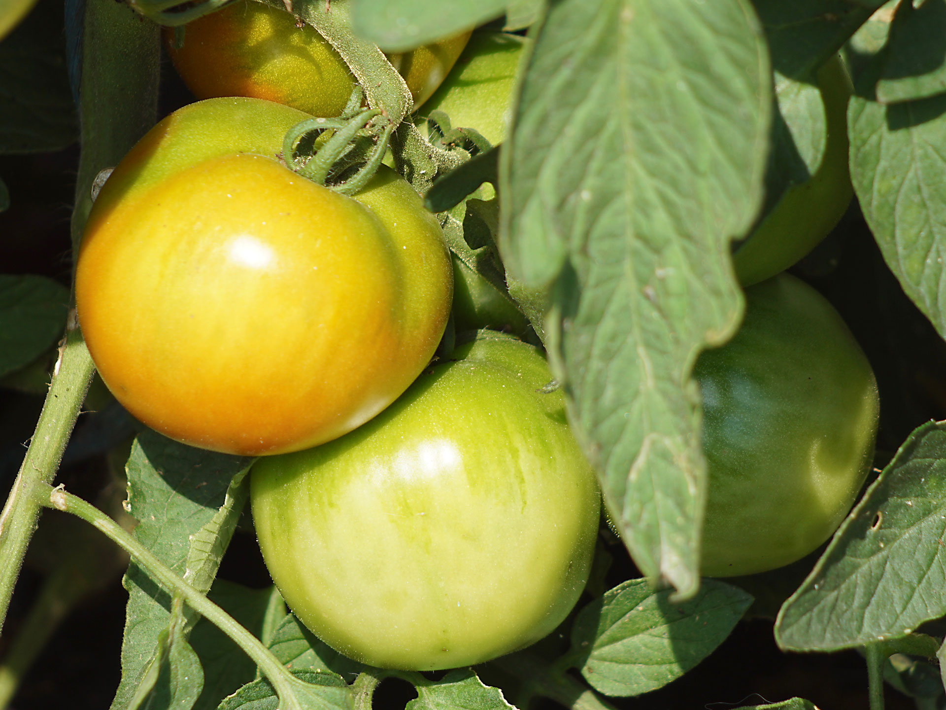 Gartenrhythmen lernen Geduld. Unreife Tomaten kann man noch nicht geniessen. Und auch im Leben muss man oft einiges reifen lassen. Das spüren oft die Gaste zum Mitleben, welche eine neue Lebensorientierung suchen.