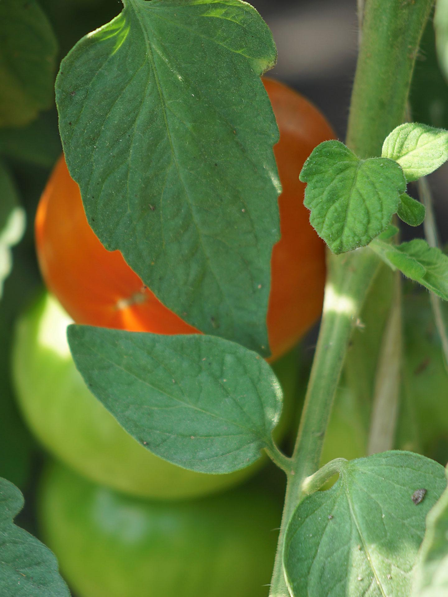 Die äusserste Tomate hat schon viel Sonne gesehen. Die Innen gelegenen Tomaten brauchen noch ziemlich viel Sonne. Könnte man nicht auch das Meditieren und Kontemplieren als ein in der Sonne sitzen verstehen, zwecks Reifung?